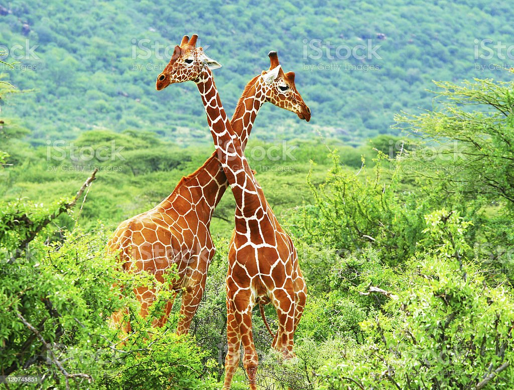 Fight of two giraffes stock photo