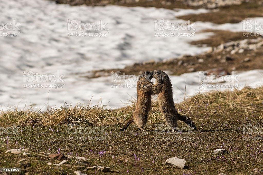 fighting alpine marmots stock photo