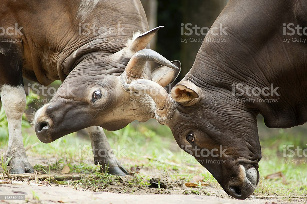 Fighting Banteng, red bull in rainforest of Thailand. royalty-free stock photo