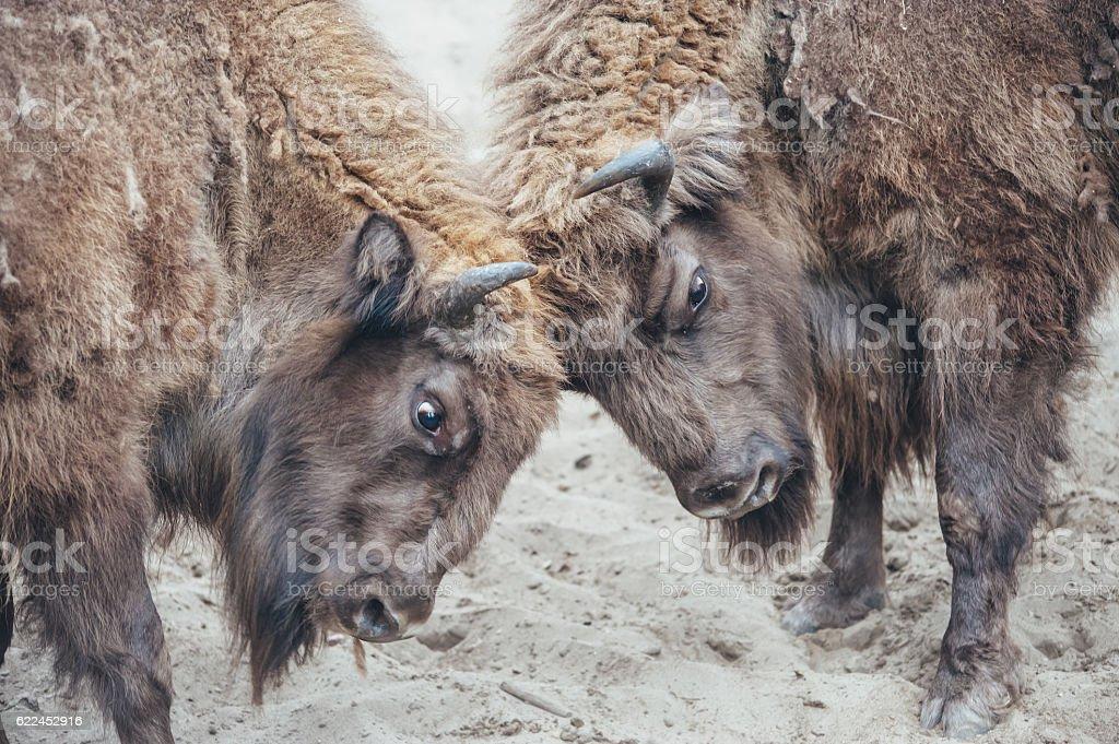 fighting bison stock photo