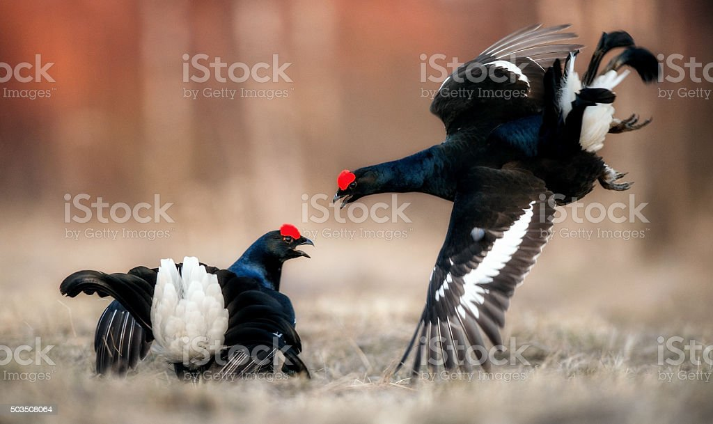 Fighting Black Grouse  at the Lek. stock photo