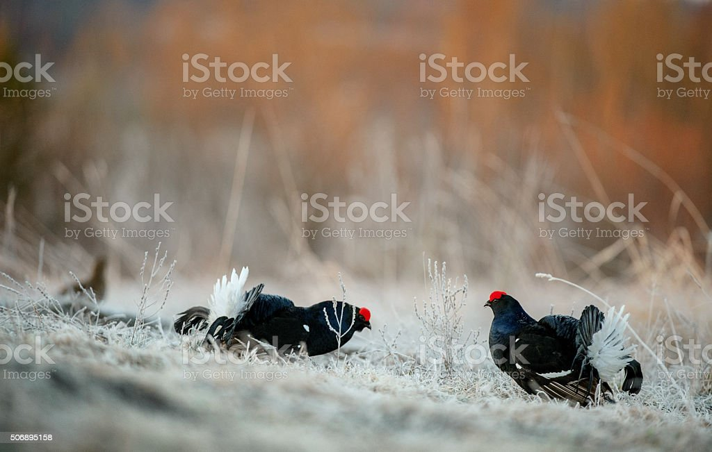 Fighting Black grouses stock photo