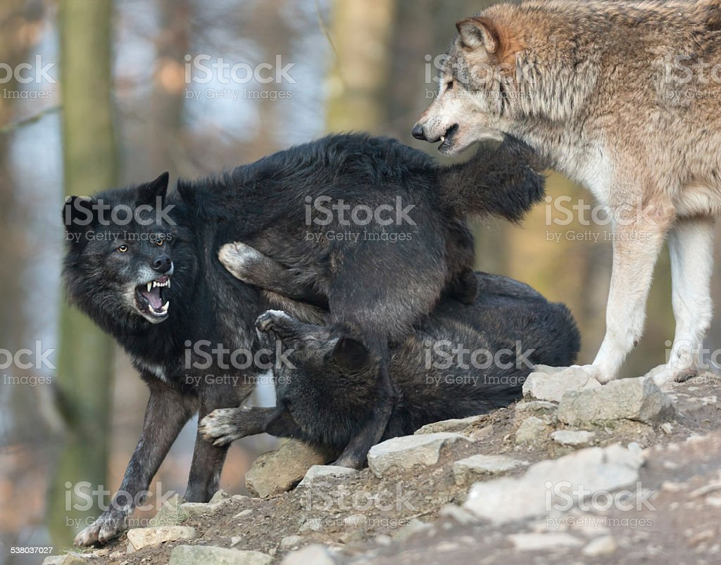 Fighting Black Wolves stock photo