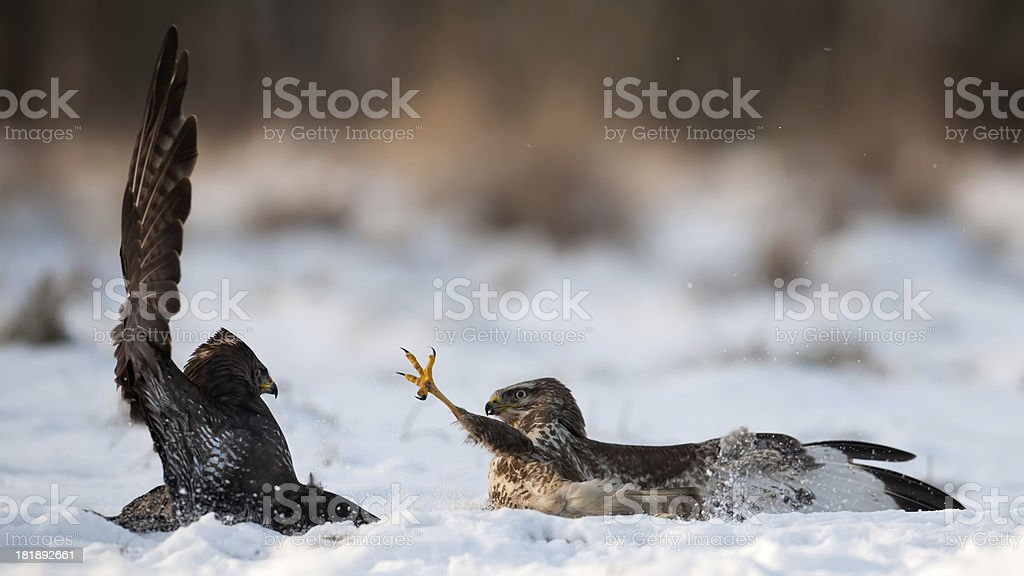 Fighting Buzzards royalty-free stock photo