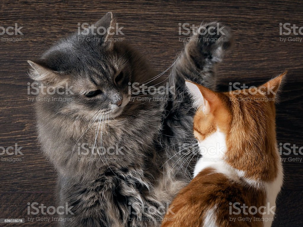 Fighting cats. Concept - the tense situation stock photo
