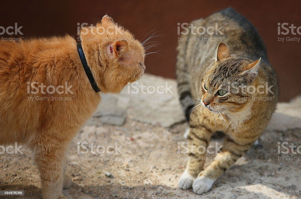 Fighting cats stock photo