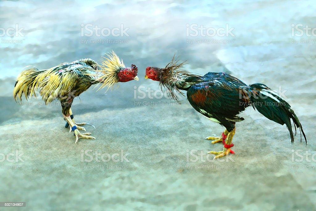 fighting cock stock photo
