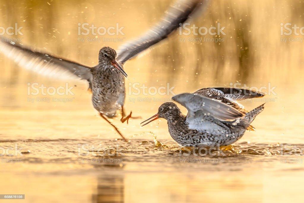 Fighting Common Redshank stock photo
