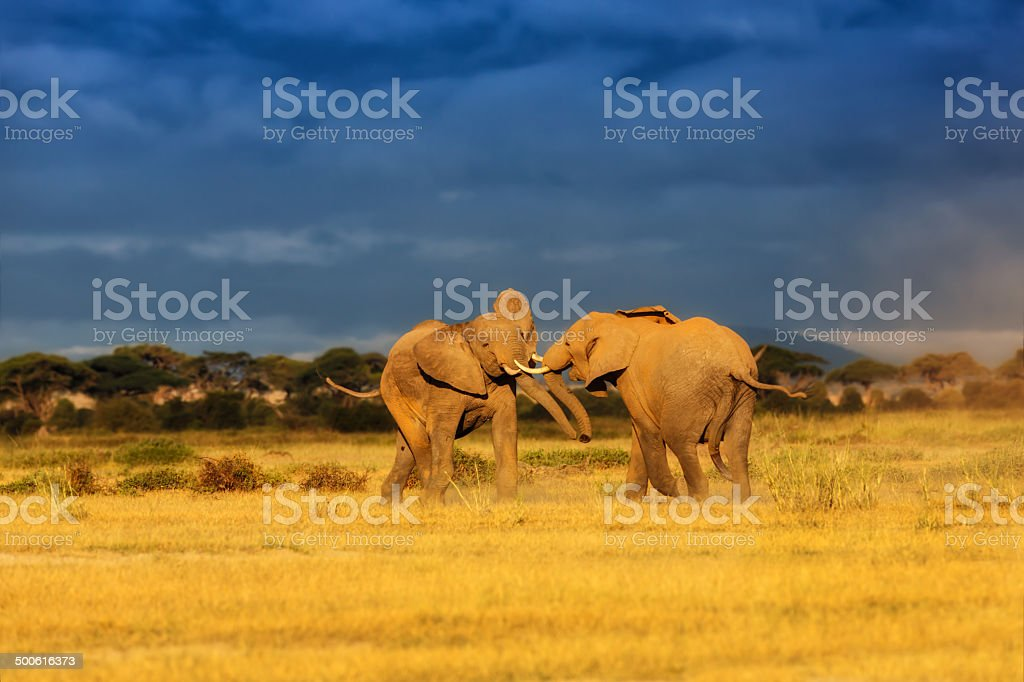 Fighting Elephant male and female during mating time stock photo