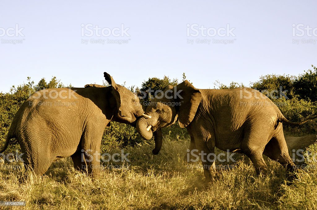 Fighting Elephants royalty-free stock photo