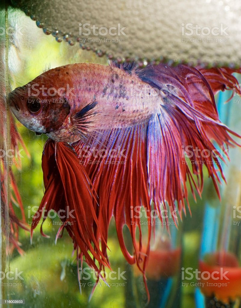 Fighting Fish and bubble nest stock photo