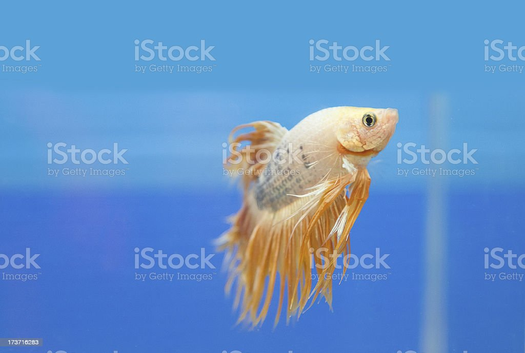 fighting fish, betta splendens royalty-free stock photo