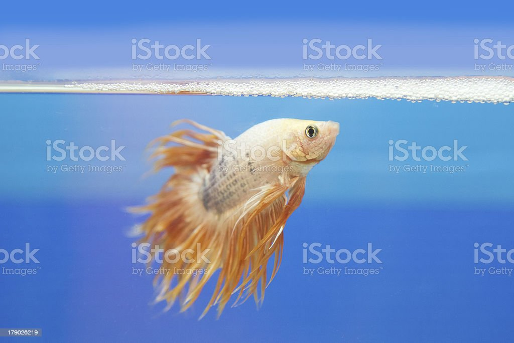 fighting fish, betta splendens royalty-free stock photo