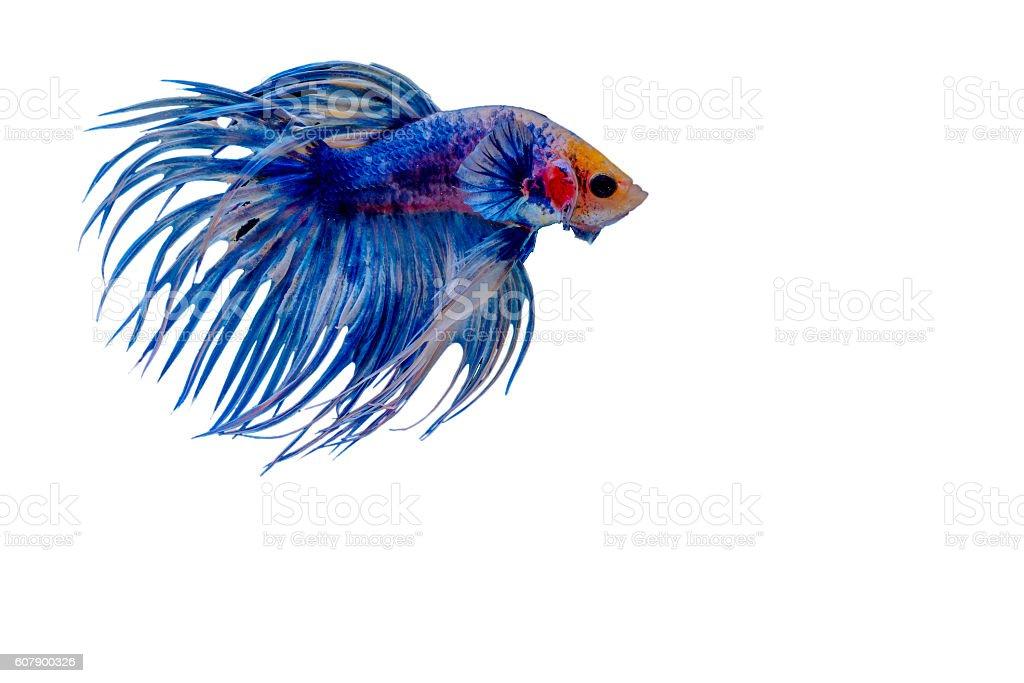 Fighting fish Photography stock photo