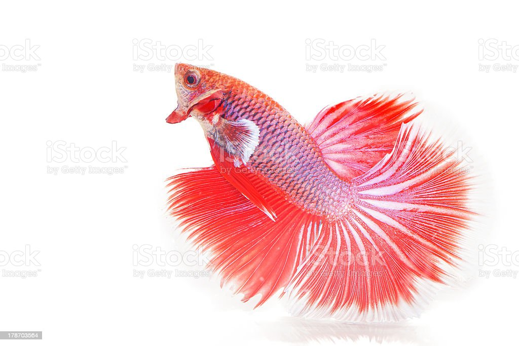Fighting fish royalty-free stock photo