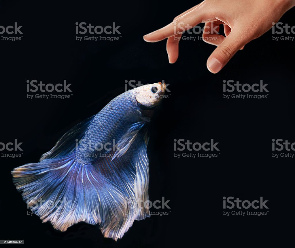 Fighting Fish stock photo