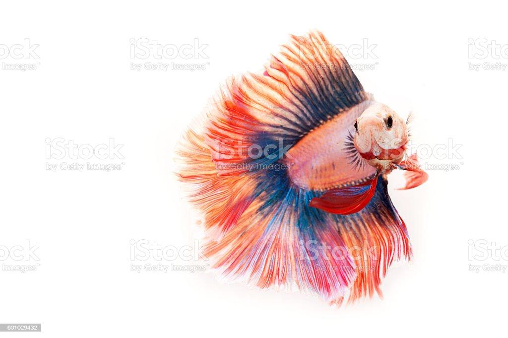 fighting fish, stock photo