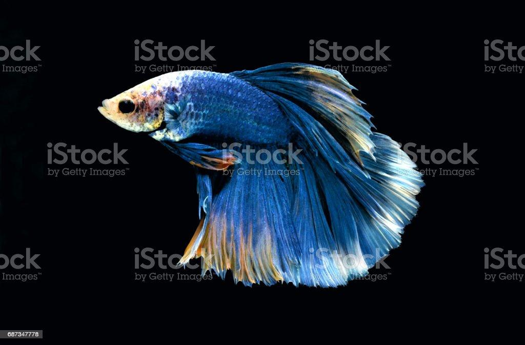 Fighting fish. stock photo