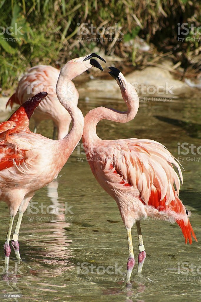 Fighting Flamingos royalty-free stock photo