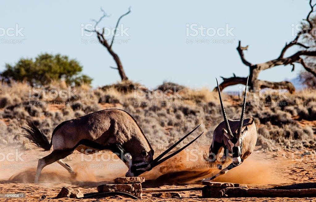 fighting gemsbok antelope in namibia stock photo
