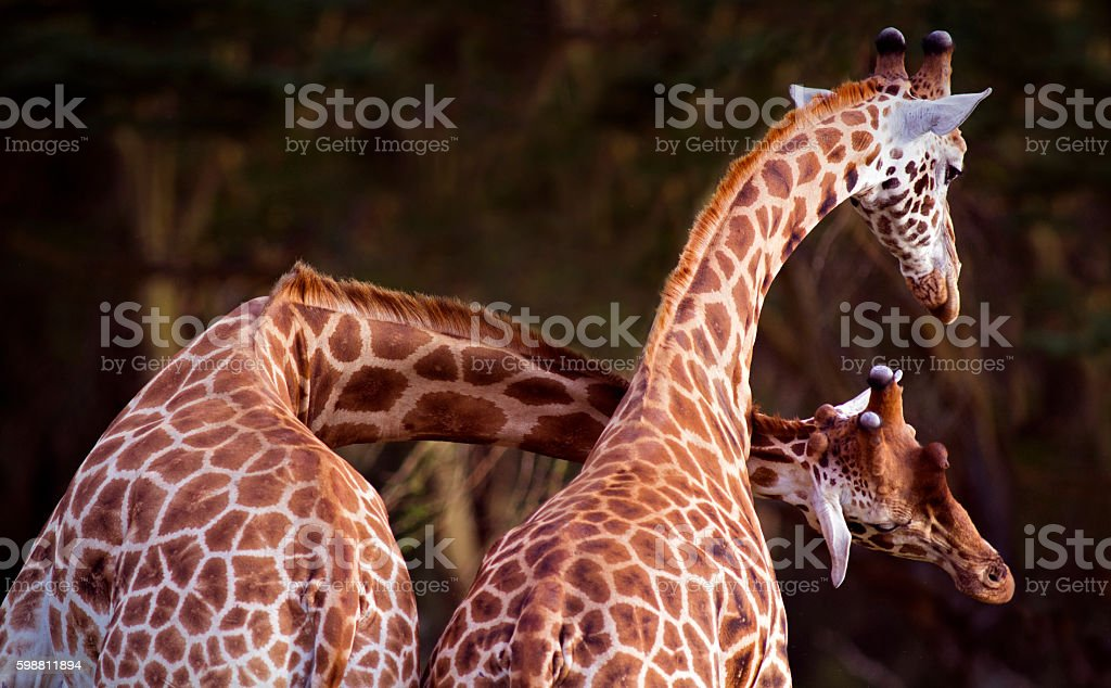 Fighting giraffe stock photo
