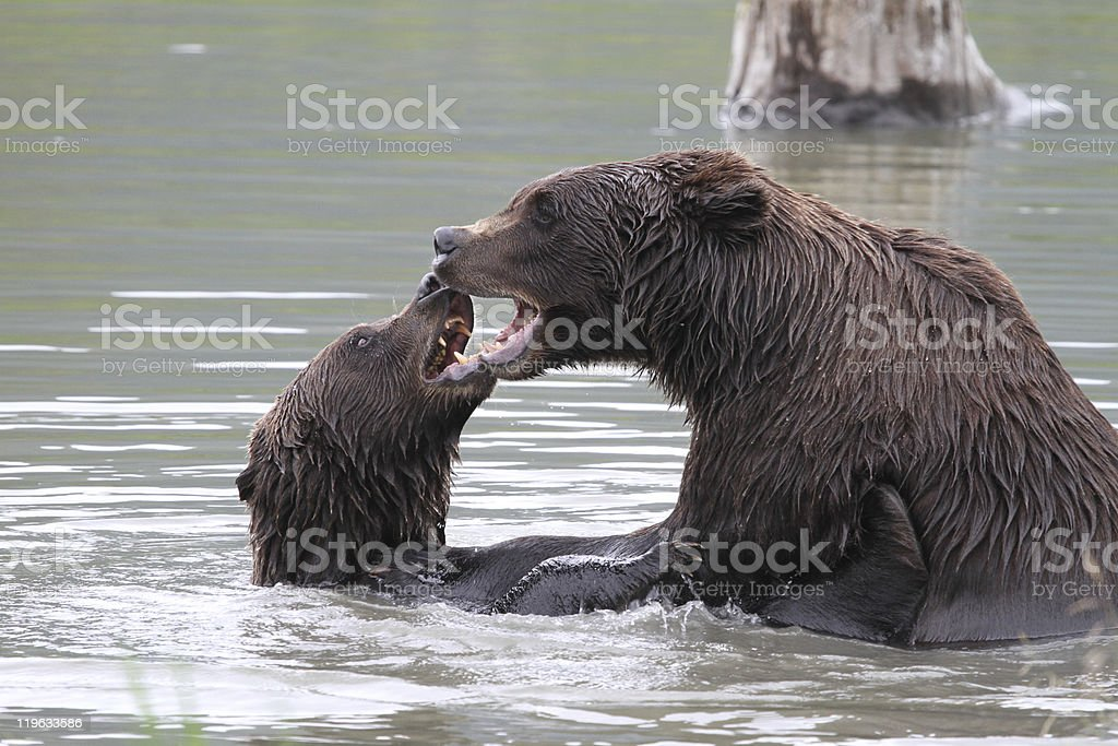 fighting grizzlies stock photo