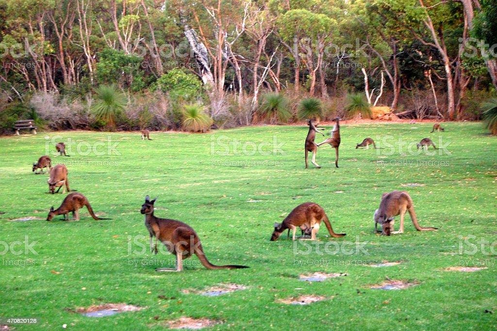 Fighting kangaroos stock photo