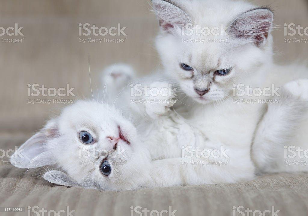 Fighting kittens stock photo