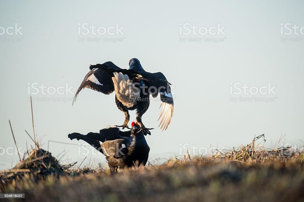 Fighting lekking Black Grouses. stock photo