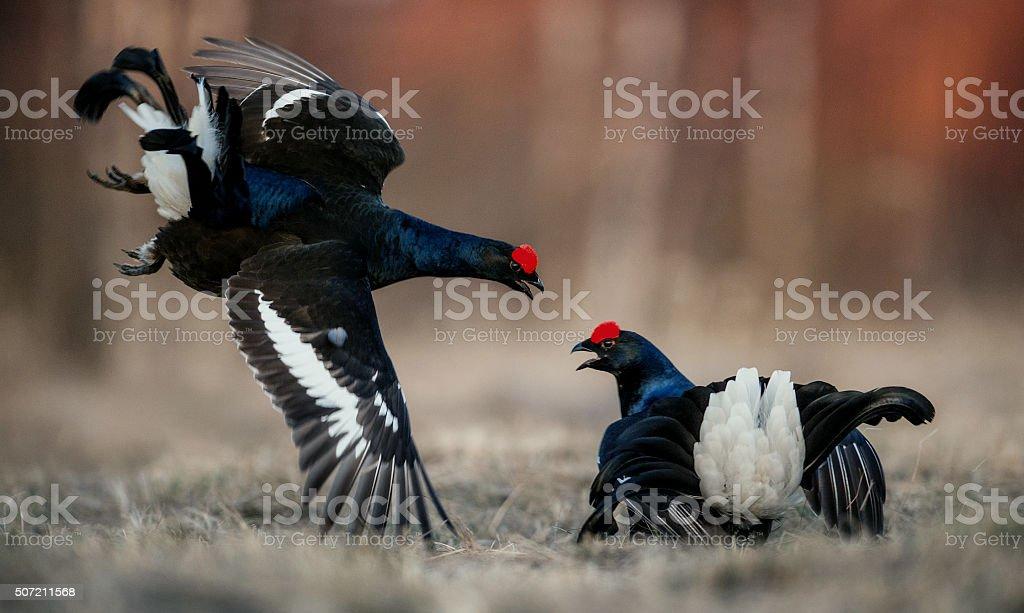 Fighting lekking Black Grouses stock photo