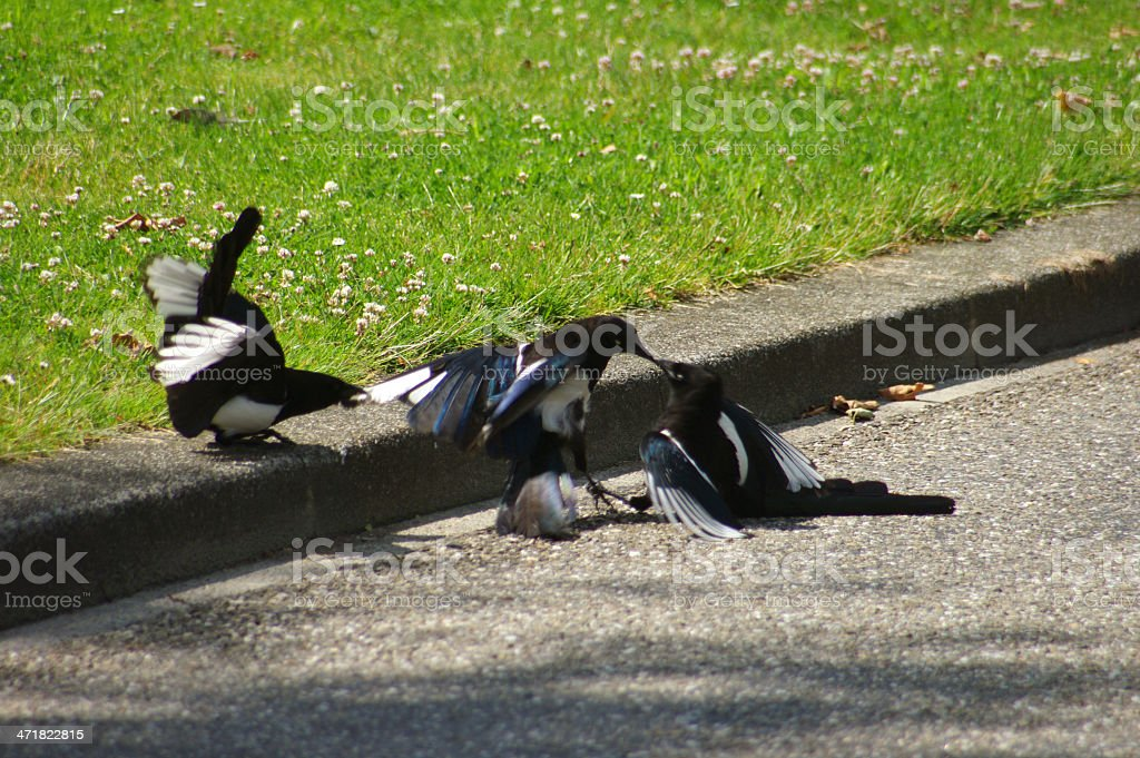 Fighting magpies royalty-free stock photo