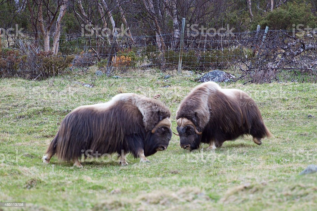 Fighting Muskox stock photo