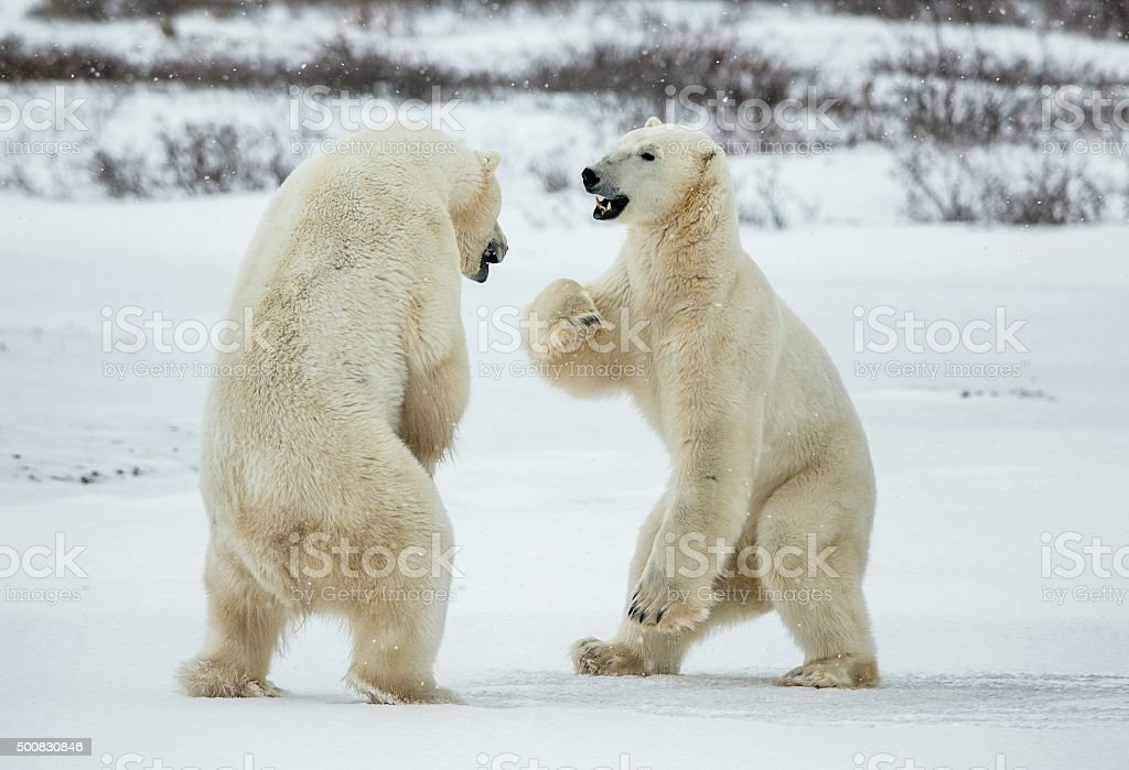 Fighting Polar bears on the snow. stock photo