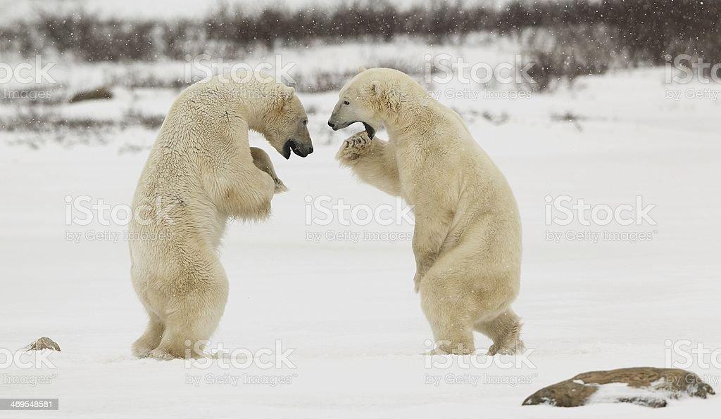 Fighting Polar Bears stock photo
