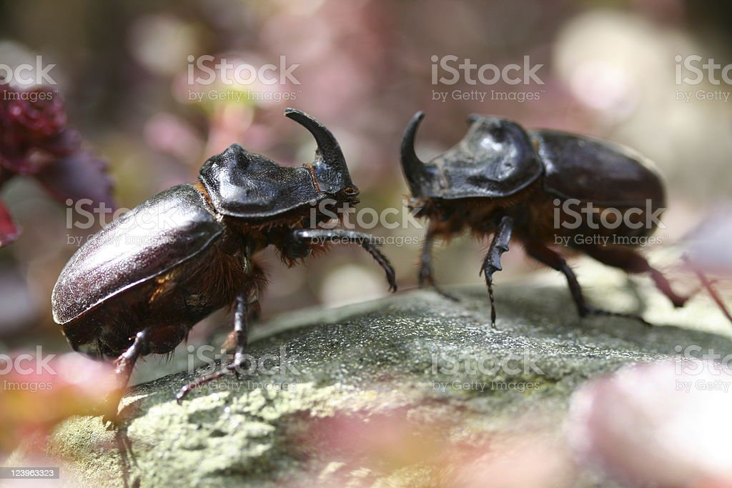 fighting rhino beetles stock photo