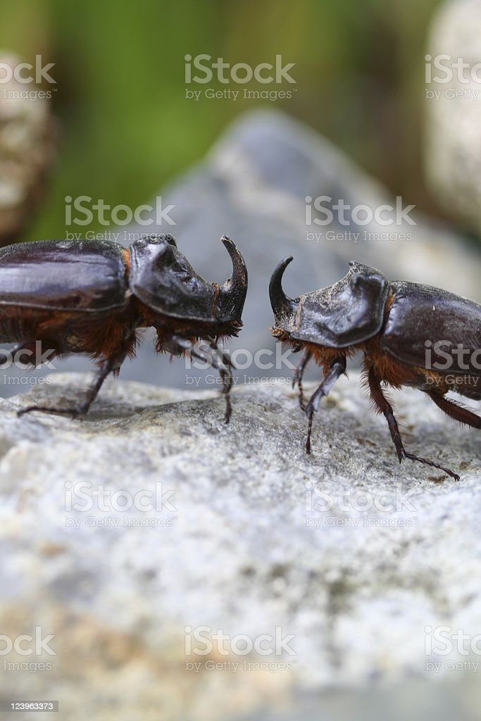 Fighting rhino beetles royalty-free stock photo
