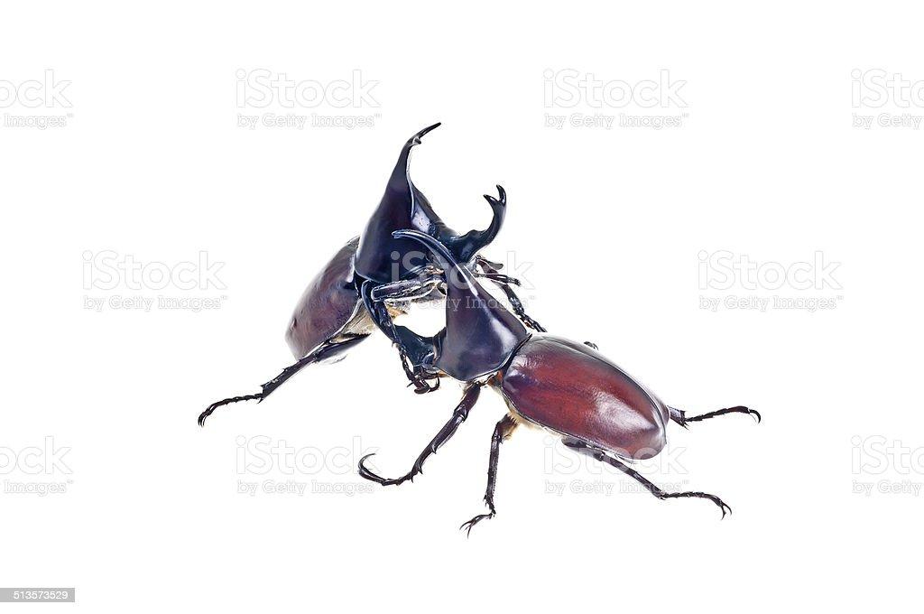 Fighting Scarab beetles stock photo