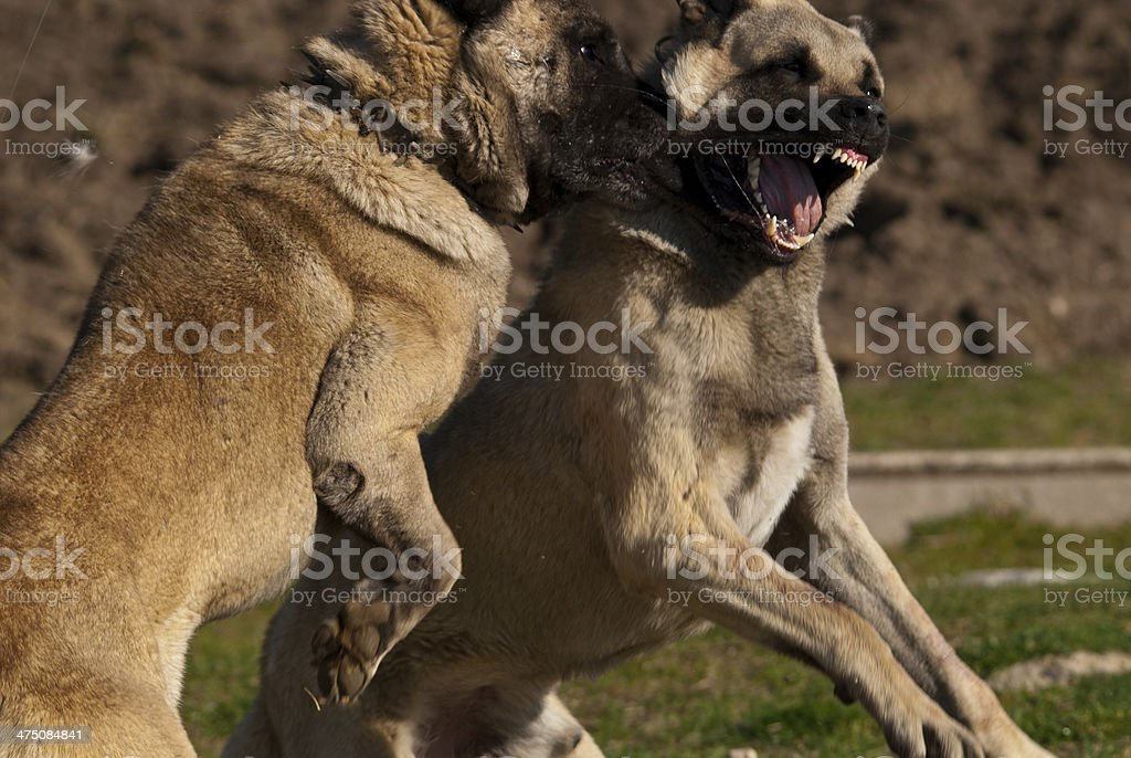 Fighting Sheep Dogs stock photo