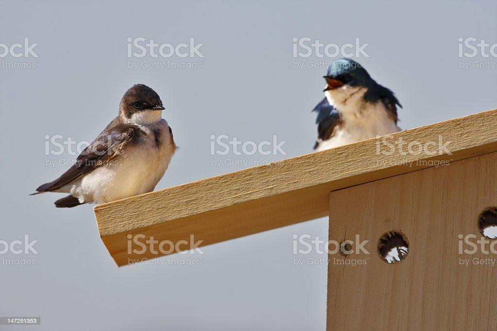 Fighting swallows stock photo