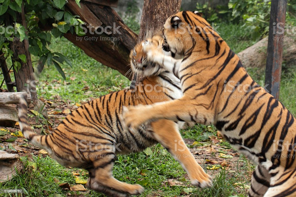 Fighting tigers motion action stock photo