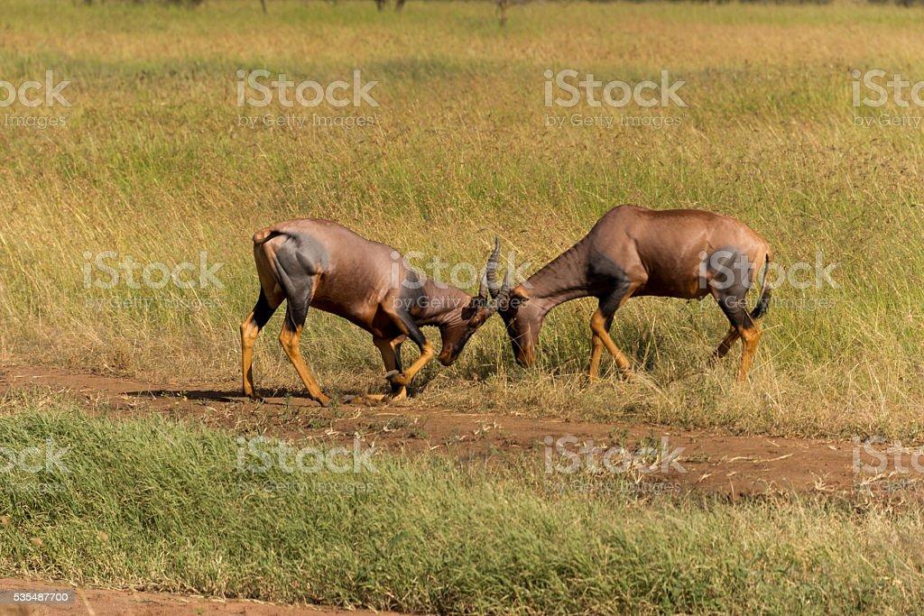 fighting topi antelopes stock photo