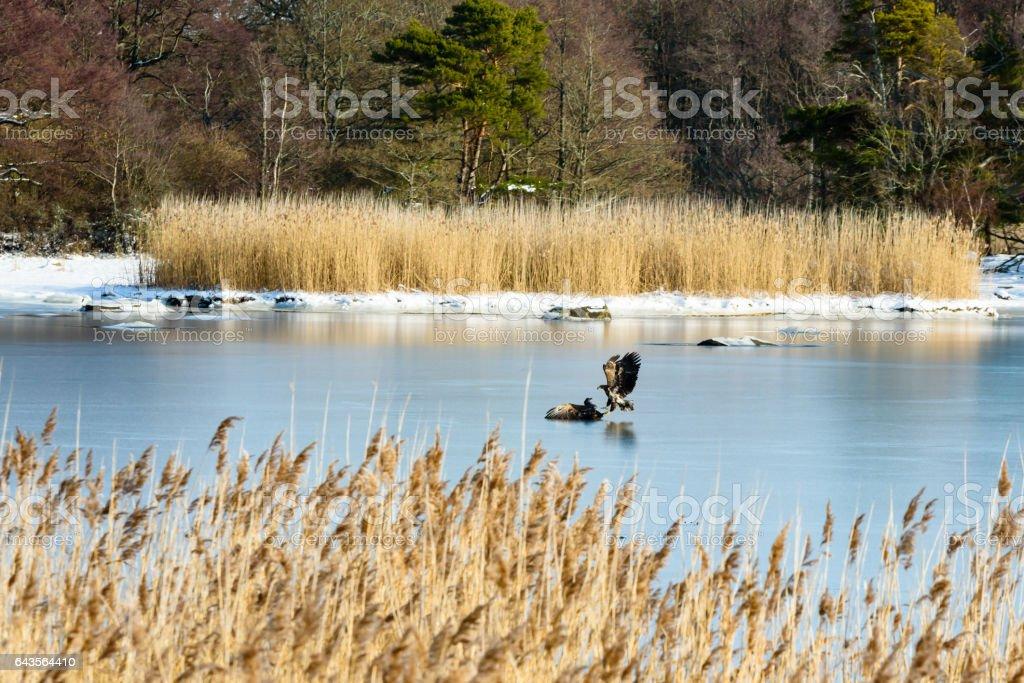 Fighting white-tailed eagle (Haliaeetus albicilla) on sea ice stock photo
