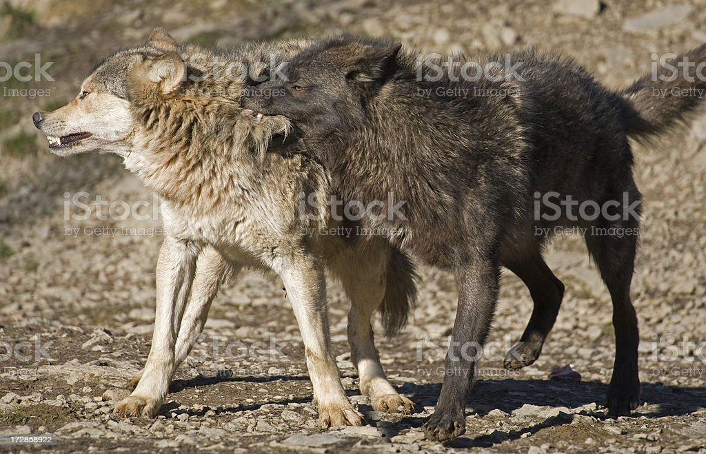 Fighting Wolves royalty-free stock photo