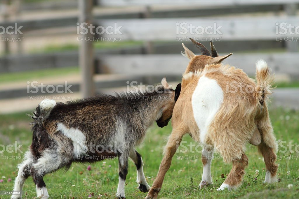 fighting young goats stock photo