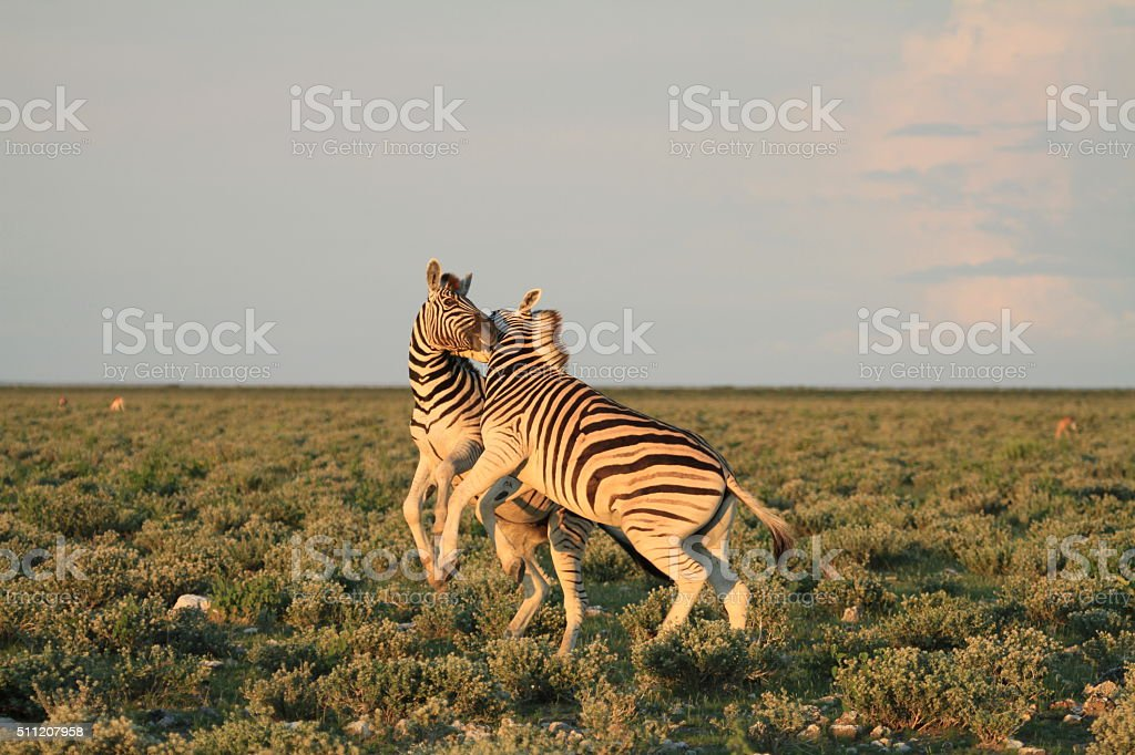 Fighting Zebra in Etosha stock photo