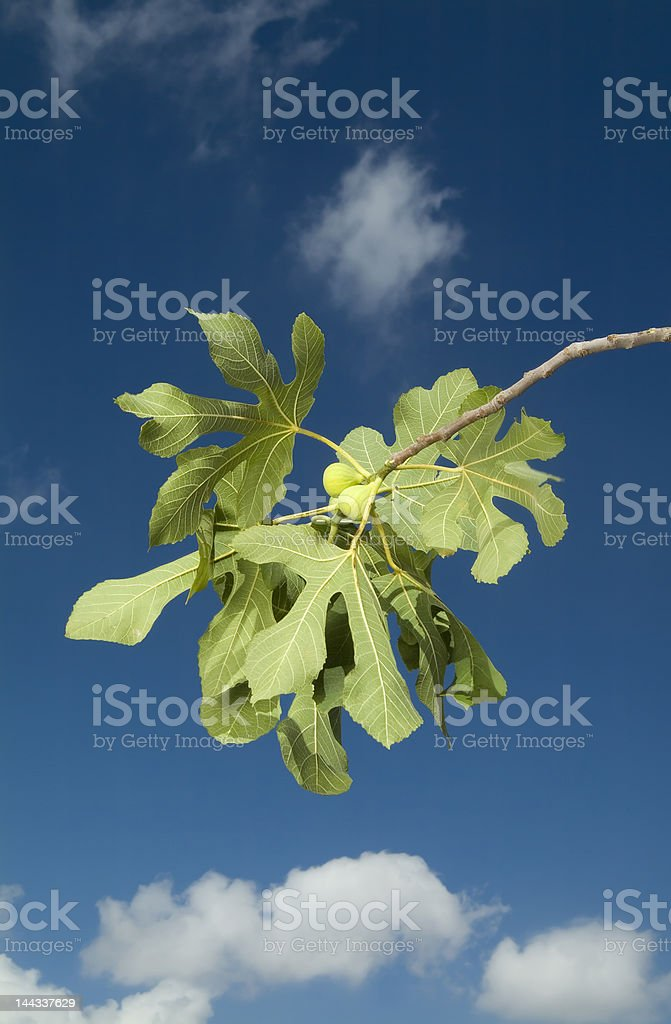 figs on branch royalty-free stock photo