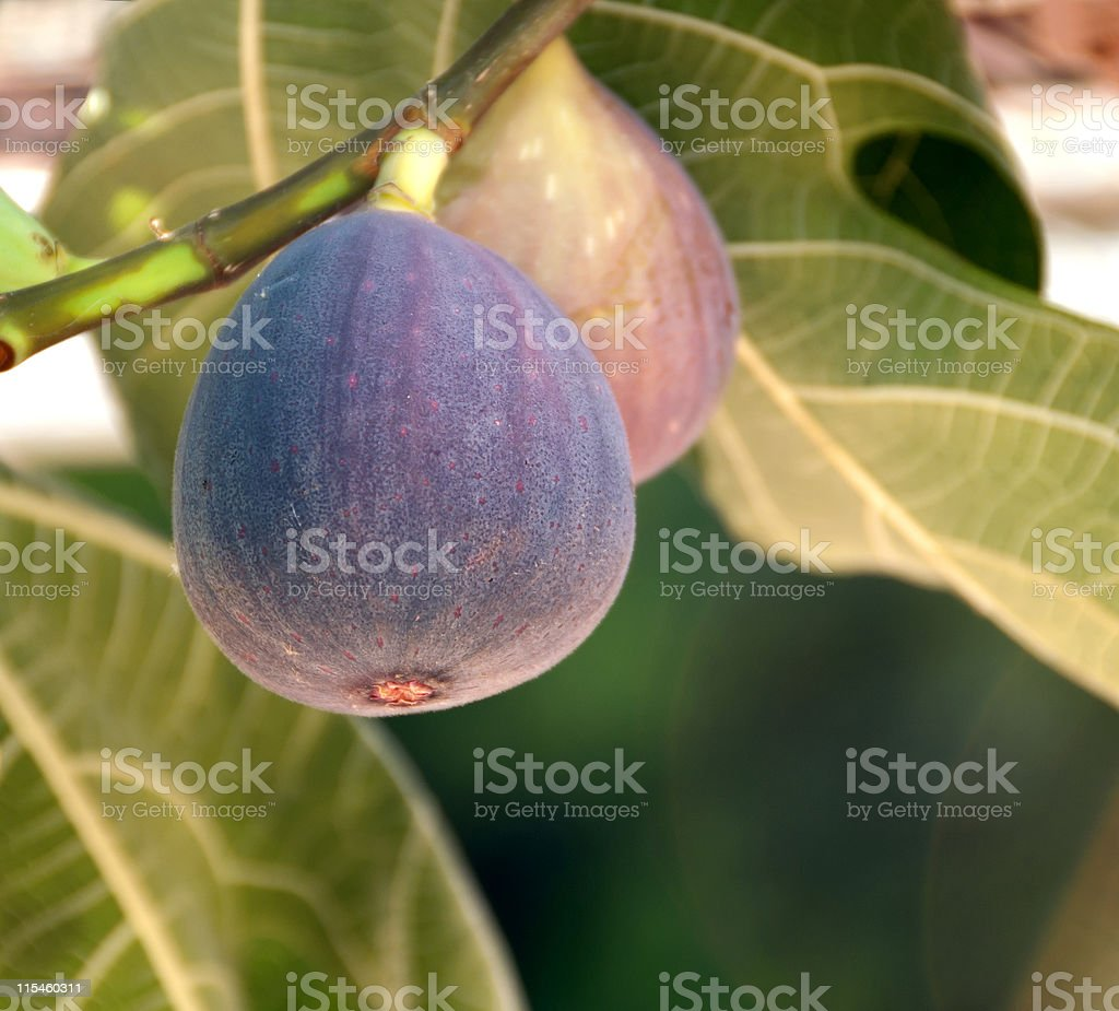 figs on the branch stock photo