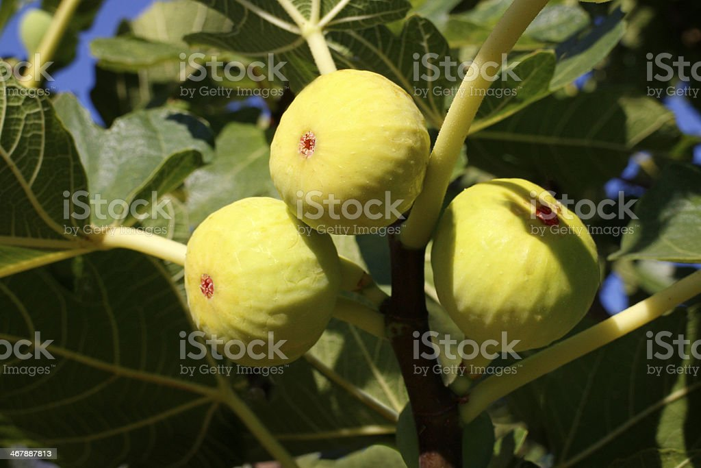 Figs on the branch royalty-free stock photo
