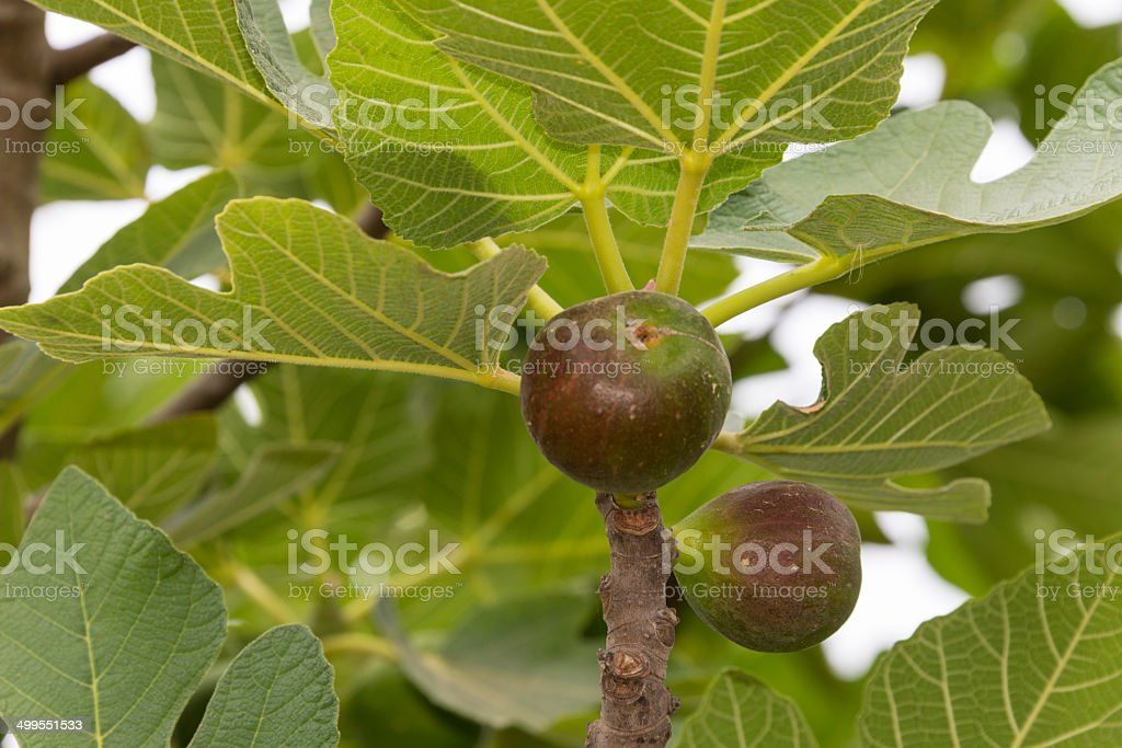 Figs on tree royalty-free stock photo