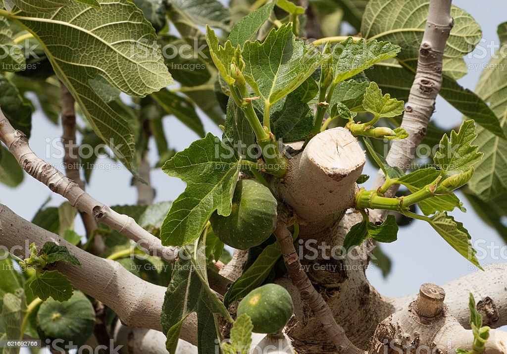 figs ripening on a fig tree stock photo